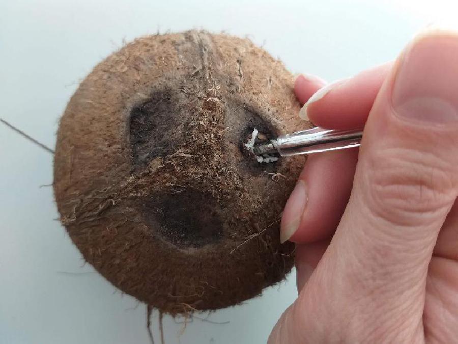 Een gat in de kokosnoot prikken