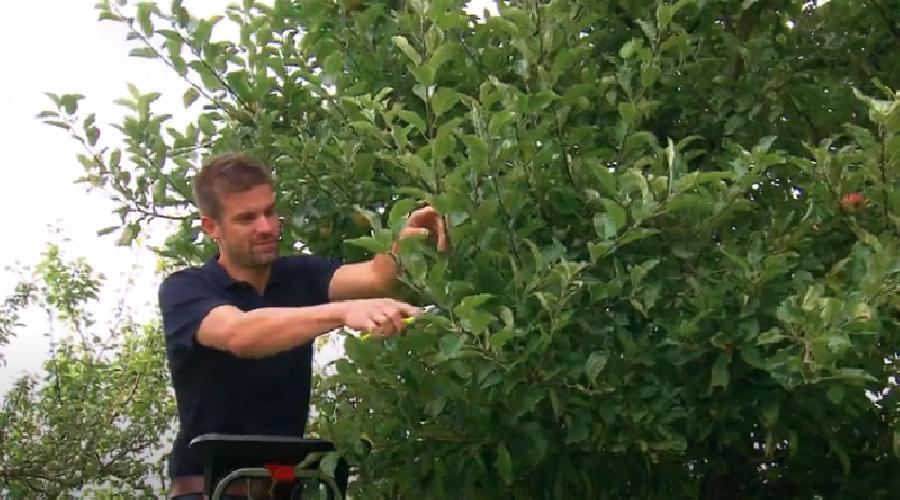 Hoe moet je een appelboom snoeien in de zomer?