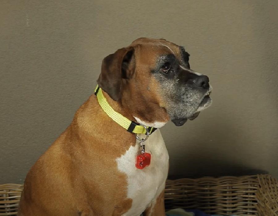 Je hond zichtbaar maken met een veiligheidslampje