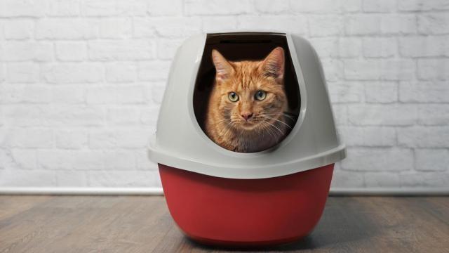 Hoe kun je een kat in de kattenbak laten plassen?