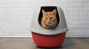 Hoe kun je een kat in de kattenbak laten plassen