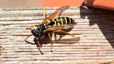 Hoe kun je een wespensteek zelf behandelen