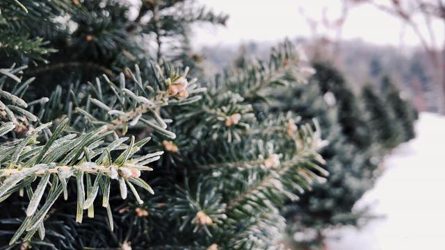 Hoe kun je de juiste kerstboom kopen? Tips en info.