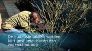 Hoe kun je een Hibiscus syriacus snoeien