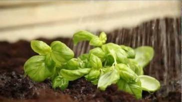 Zelf verse kruiden kweken basilicum kweken en verzorgen