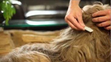 Vlooien bij hond of kat honden en kattenvlooien bestrijden en voorkomen