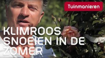 Hoe snoei je een klimroos Zomersnoei augustus voor een tweede bloei
