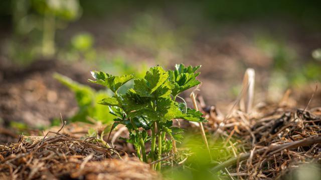 Mulchen in de tuin: waarvoor en wanneer doe je dit?