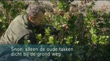 Hoe en wanneer moet je een Hortensia Hydrangea Macrophylla snoeien tuinieren