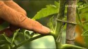 Hoe kun je een tomatenplant kweken en dieven moestuin